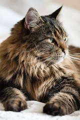 Magnus (Marissen) Tags: pet proud cat kat feline tabby mainecoon