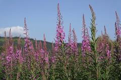 . (Tasmin_Bahia) Tags: pink flowers blue sky macro green focus purple