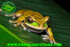 PHAEOTA. (frog.sanctuary) Tags: wild costa tree verde glass rain animal night forest river rainforest heaven tour natural selva dry toads rica frog oasis bosque wetlands tropical masked poison sapos ponds silvestre dart sanctuary arenal guided lluvioso ranas sarapiqui anura guía inbio tirimbina enmascarada observación venenosas costarican hábitat arborícolas phaeota smillisca