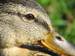 IMG_0384 (Marko_J_Aho) Tags: birds helsinki mallard anasplatyrhynchos sinisorsa