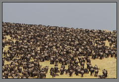 On to horizons new! (Rainbirder) Tags: kenya maasaimara bluewildebeest connochaetestaurinus rainbirder
