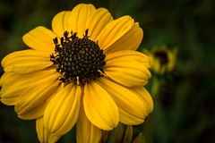 Fall is Welcomed (Bejeweled) Tags: color macro fall yellow colorful alabama wildflowers