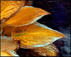 golden autumn (manni39) Tags: autumn mamiya film rural vintage mediumformat garden countryside fuji superia herbst vintagecamera 6x7 garten rollfilm fujisuperiaxtra400 rb67 ländlich sekor mittelformat moyenformat mamiyasekor mamiyasekor127mm38
