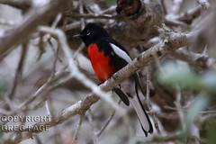 Painted Redstart (gregpage1465) Tags: bird nature photography photo texas greg painted wildlife picture page warbler falfurrias redstart pictus paintedredstart gregpage myioborus