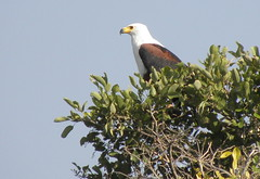 Fish Eagle looking over Crocodile River near Kruger (elle2028) Tags: eagles