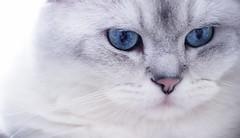 Yeti (Blochmäntig) Tags: feline katze gatto whitecat blueeye britishshorthair cateye catportrait impressedbeauty mygearandme mygearandmepremium mygearandmebronze mygearandmesilver mygearandmegold mygearandmeplatinum mygearandmediamond