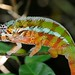 Panther Chameleon (Stephen Woodham)