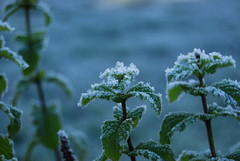 Frozen Mint ( S. D. 2010 Photography) Tags: morning winter snow cold frost freeze