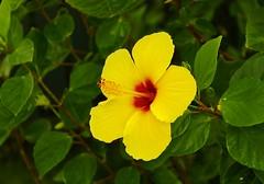 Kailua Hibiscus 1, Hawaii (Eric Tessmer, Honolulu Hawaii) Tags: flower hawaii oahu hibiscus windward kailua