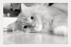 Again (salar hassani) Tags: leica blackandwhite cat 35mm d76 sl mainecoon amadeus leicaflex