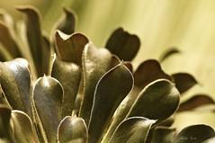 命運 Fate (Anna Kwa) Tags: macro art nature marina succulent singapore cactusgarden irishrose aeoniumarboreum flowerdome treeaeonium gardenbythebay houseleektree