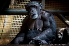 A chimp at Chester Zoo (*Richard Cooper *) Tags: zoo chimp chester chimpanzee