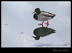 Duck on Ice (Cannon-Ben M.) Tags: duck miracle drake ente eis spiegelung walkingonwater erpel wunder