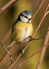 Blue tit (Edd's Images) Tags: uk birds wildlife norfolk gardenbirds wildbirds canon1dmarkiii canonef400f56lusm