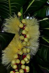 Barringtonia edulis, Singapore Botanic Garden (aviac) Tags: plant tree singapore floweringtrees edulis lecythidaceae singaporebotanicgarden barringtonia singaporetrees barringtoniaedulis