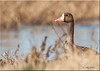 'Goose' (d-lilly ~ on and off for awhile) Tags: ngc greaterwhitefrontedgoose blinkagain bestofblinkwinners sacramentowildliferefuge2014