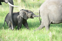 013_6748 (Andrew Wilson 70) Tags: africa elephant game african safari elephants botswana moremi andrewwilson campmoremi andrewwilsonbotswana