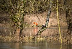(robwiddowson) Tags: thames duck flood ring oxford isis flotation