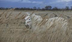 Camarguais (Michel Seguret Thanks for 14 M views !!!) Tags: horse france nature caballo nikon provence marais cavallo pferd d800 camargue sauvage camarguais michelseguret {vision}:{mountain}=0561 {vision}:{outdoor}=099 {vision}:{sky}=0741