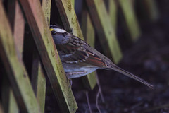peekaboo (Scott Alan McClurg) Tags: life winter wild bird animal backyard wildlife feathers ground neighborhood deck cover sparrow shade perch smallbirds songbird