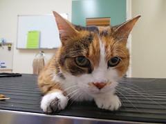 Smudge (Rayya The Vet) Tags: cat feline tortoiseshell anaesthetic geriatric domesticshorthair vetdentistry vetrevisit