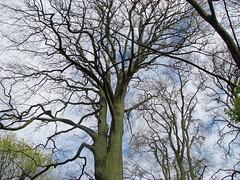 Fagus sylvatica, Beuk, European Beech (ekenitr) Tags: tree bomen boom april voorburg europeanbeech beuk fagussylvatica rotbuche ekenitr htrecommun parksonnenburgh hayacomnapril
