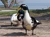 An encounter ~ (rotraud_71) Tags: waterfowl chiemsee fraueninsel vanagram blinkagain