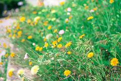 A touch of vintage (somniatrix_24) Tags: street flowers blur forest vintage polaroid nikon bokeh style natura nikkor bosco nital nikond3300 d3300