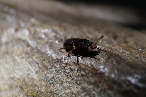 Escarabajo tico
