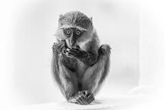 Blue Monkey, Kenya (martin.mutch) Tags: