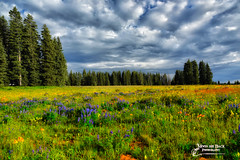 WILD FLOWERS ON GRAND MESA (Aspenbreeze) Tags: flowers trees sky mountains nature floral rural landscape outdoors flora colorado wildflowers stormysky highaltitude grandmesa grandmesacolorado aspenbreeze moonandbackphotography bevzuerlein