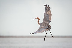 FUI (gseloff) Tags: reddishegret bird flight bif feeding surf bolivarflatsshorebirdsanctuary houstonaudubonsociety galvestoncounty texas gseloff