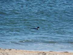 P2208590 (robotbrainz) Tags: bychristine nj newjersey olympusomdem10 beach ocean atlanticocean commonmerganser merganser bird