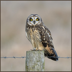 Short-eared Owl (image 1 of 2) (Full Moon Images) Tags: burwell fen wicken nt national trust wildlife nature reserve cambridgeshire bird prey birdofprey post barb wire shorteared short eared owl seo