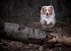 wood2 (juhwie.foto - PROJECT: LEIDENSCHAFT-LICH-T) Tags: aussie australian shepherd dog fun wood tree nature pentax k1 limited