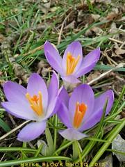 Out of soil... (eikeblogg) Tags: flowers soil natureshots mobilephotography details closeup symbols flora endofwinter growth crocus