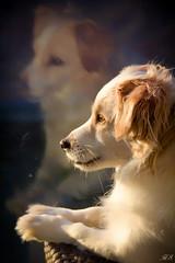 Me and my reflection enjoying the sun... (Hetty S.) Tags: dog pet reflection sun enjoy enjoying portrait spring canon eos hs bruno hetty hettys hond portret perro chien hund huisdier