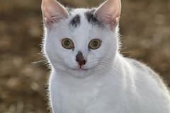 i'm  a sweetie (excellentzebu1050) Tags: catsdonkeycamelszebus2017march cat kittens animalportraits animal farn pet closeup coth5