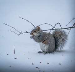 Squirrel (si_glogiewicz) Tags: snow storm nyc nature snowy animals twigs squirrel tail cute fluffy rodent winter wintery cold spring