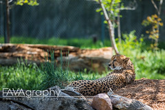 UN6A9265 (Dan Fava) Tags: usa animal cat canon zoo iso100 colorado denver gato co northamerica cheetah  200mm  28 canoneos5dmarkiii canon5dmarkiii 70200mmf28lisiiusm ef70200mm28lisiiusm Lens:ID=251