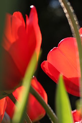 Nice and red (Milou Diable) Tags: red abstract flower green closeup tulip urbannature