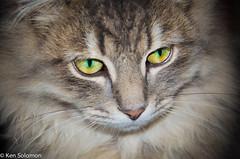Axel. (kensol72) Tags: cute cat nikon feline pussy nikkor dx 18105mm d5100