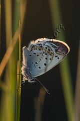 Plebejus sp (Manuel Angel Alvarez) Tags: granada sierranevada mariposa plebejus