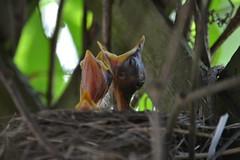 Three hungry babies! (ctberney) Tags: ontario canada backyard nest neighborhood americanrobin stratford helpless turdusmigratorius
