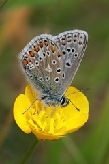 Butter, Cup And Fly (Chris*Bolton) Tags: flower male nature butterfly insect buttercup commonblue commonbluebutterfly mywinners abigfave citrit artofimages
