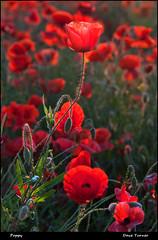 Poppy (dave turner1) Tags: light red nikon yorkshire poppy poppies ferrybridge daveturner d700 nikond700