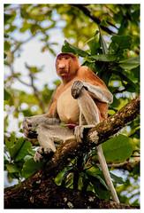 Bako National Park -  Proboscis Monkey (MC_photopics) Tags: sarawak malaysia luoghi bakonationalpark