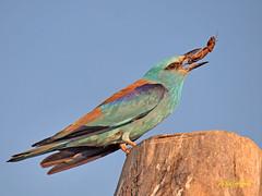 La Carraca Común y su Dieta (eb3alfmiguel) Tags: aves carraca común insectívoros pájaros
