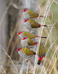 RED-BROWED FINCH Neochmia temporalis (beeater) Tags: australianbirds birdphotography birdsofaustralia australiannativebirds birdsoftheact canberrabirds stuartharrisphotography