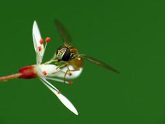 Hoverfly on Saxifrage (BlueRidgeKitties) Tags: white plant flower northcarolina botany wildflower saxifraga westernnorthcarolina saxifragamichauxii saxifragaceae southernappalachians danielboonenativegardens michauxssaxifrage canonpowershotsx40hs